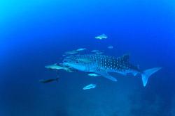 Whale shark dive