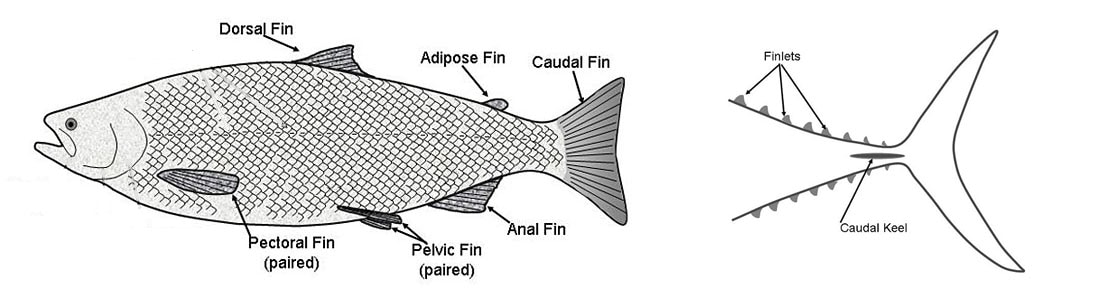 identifying fish fins
