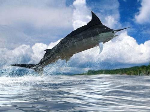 Sailfish vs marlin - photo#27